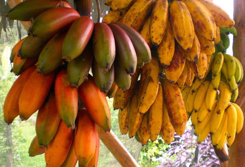 Banán fajták